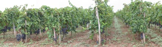 Vigne Feudi di Guagnano